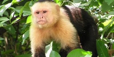 Capuchin_Costa_Rica2-Cropped