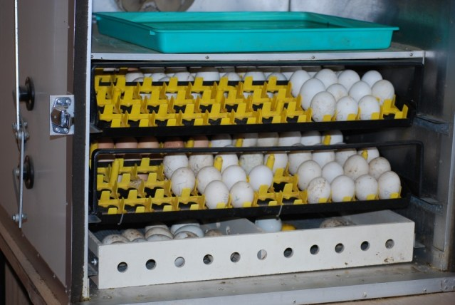 7-Items-of-Int-Incubation-sec-incubator-with-eggs1