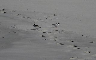 Walk quietly - endangered Hooded Plovers at Pennington Bay