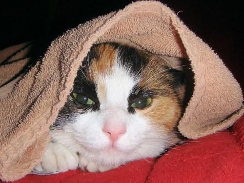Cat under a towel