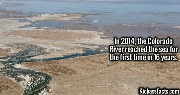 3603 Colorado River-In 2014, the Colorado River reached the sea for the first time in 16 years.