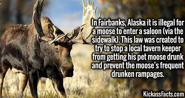 3994 Moose-In Fairbanks, Alaska it is illegal for a moose to enter a saloon (via the sidewalk). This law was created to try to stop a local tavern keeper from getting his pet moose drunk and prevent the moose's frequent drunken rampages.