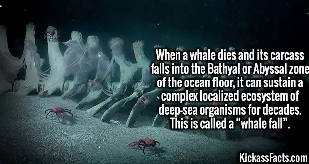 """4120 Whale fall-When a whale dies and its carcass falls into the Bathyal or Abyssal zone of the ocean floor, it can sustain a complex localized ecosystem of deep-sea organisms for decades. This is called a """"whale fall""""."""