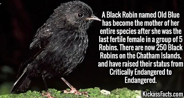 4302-black-robin-A Black Robin named Old Blue has become the mother of her entire species after she was the last fertile female in a group of 5 Robins. There are now 250 Black Robins on the Chatham Islands, and have raised their status from Critically Endangered to Endangered.