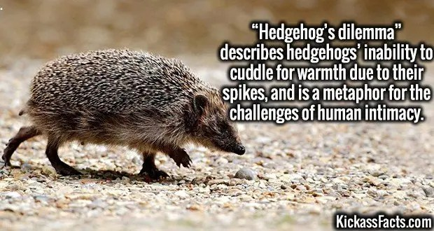 "4309-hedgehogs-dilemma-""Hedgehog's dilemma"" describes hedgehogs' inability to cuddle for warmth due to their spikes, and is a metaphor for the challenges of human intimacy."