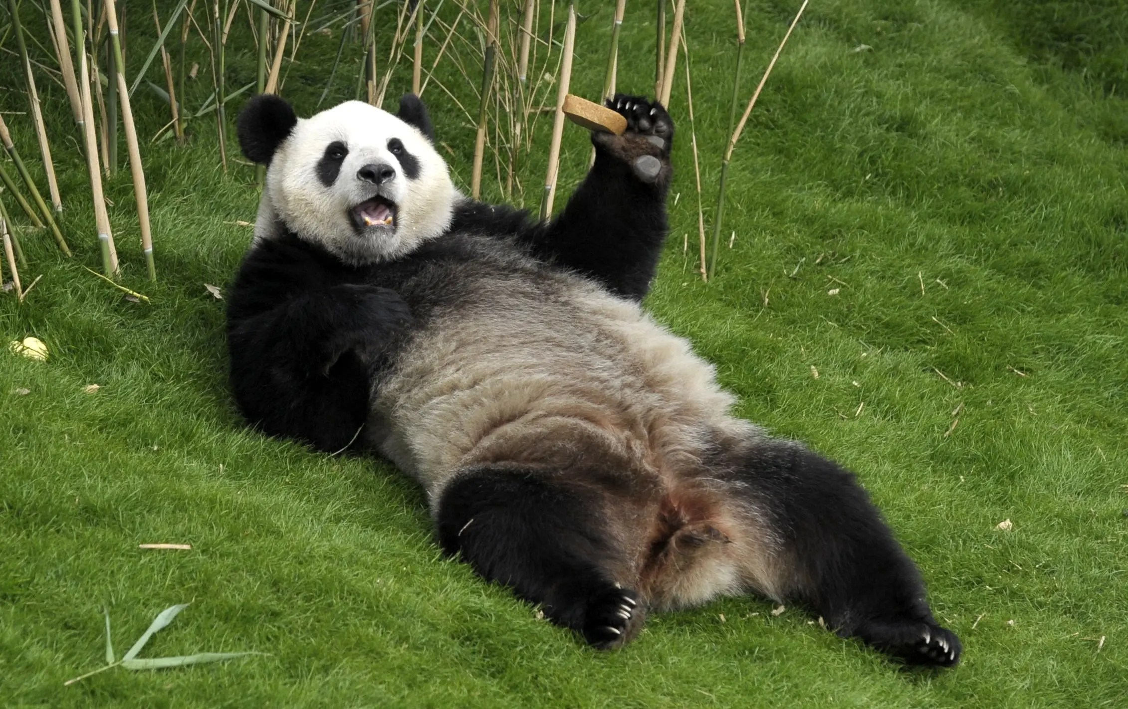 Panda Facts: 20 Interesting Facts About Giant Pandas ...