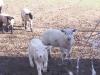 lamb-leaders.jpg
