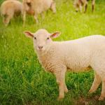 Sweet lamb sheep lamb
