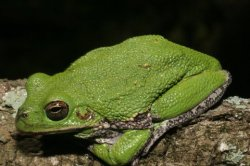 Barking treefrogs are capable of chameleon-like color and pattern changes.