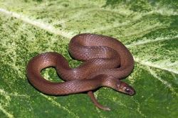 The rough earth snake derives its name from the keeled scales and preferred habitat.