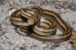 This is a typically colored subadult yellow rat snake from northcentral Florida