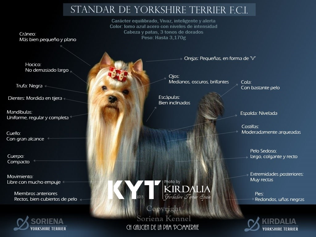 ¿Cuántos tipos de Yorkshire existen?