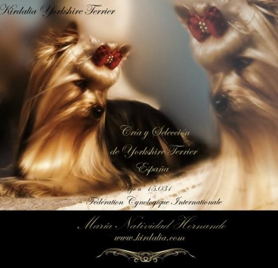 Cría y Selección Exclusiva de la Raza Yorkshire Terrier, pedigríes de los que probablemente sean Los Mejores Yorkshires Terrier del Mundo