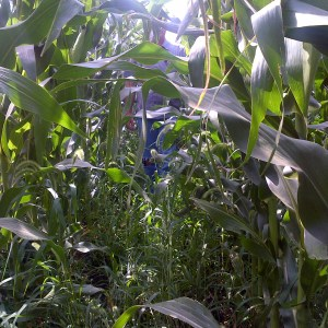 Two-pass glyphosate herbicide program for corn