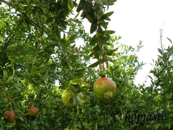 Pomegranate2