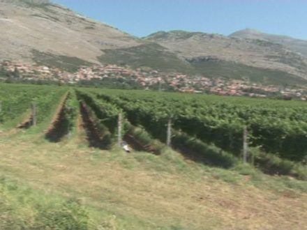 Hercegovački vinogradari očekuju rekordan prinos