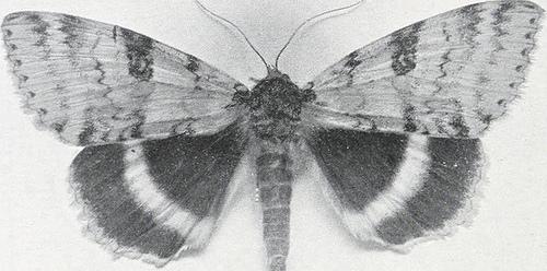 black and white moth photo