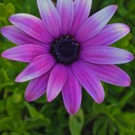 Weekly Photo 10/52 for 2013: Purple Daisy 2