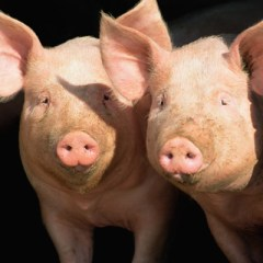 NETLA Swine Validation By December 1