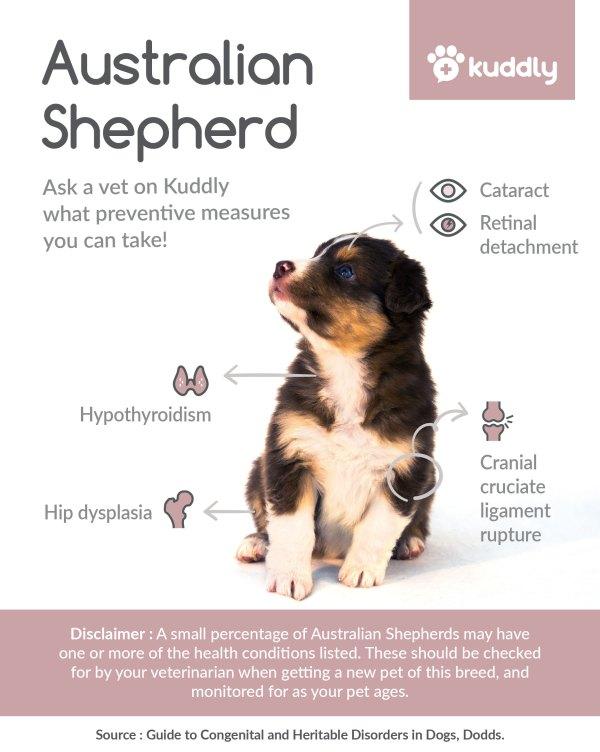 Kuddly Australian Shepherd