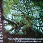 Pokok Mentangau