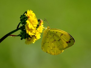yellow-butterfly-300×225