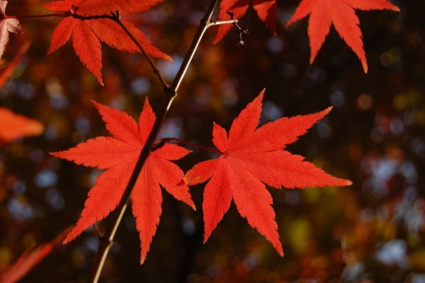 Autumn Red Maple Leaves in Japan