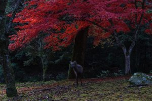 wild_deer_and_autumn_leaves_miyajma