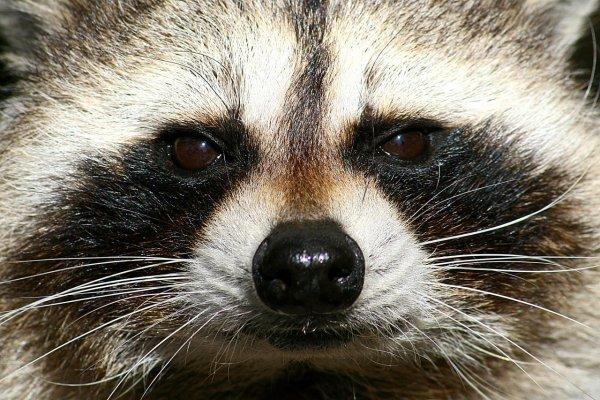 Japanese_Raccoon_Dog_Tanuki_Face