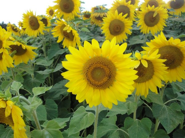 Sunflower_at_Farm_Tomita