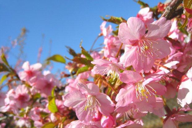 Cherry_Blossom_in_Kanagawa_Japan