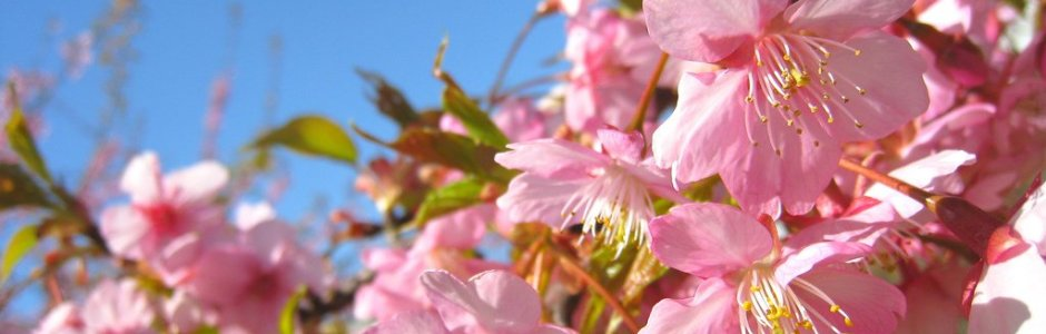 Difference between Cherry Blossom and Plum Blossom