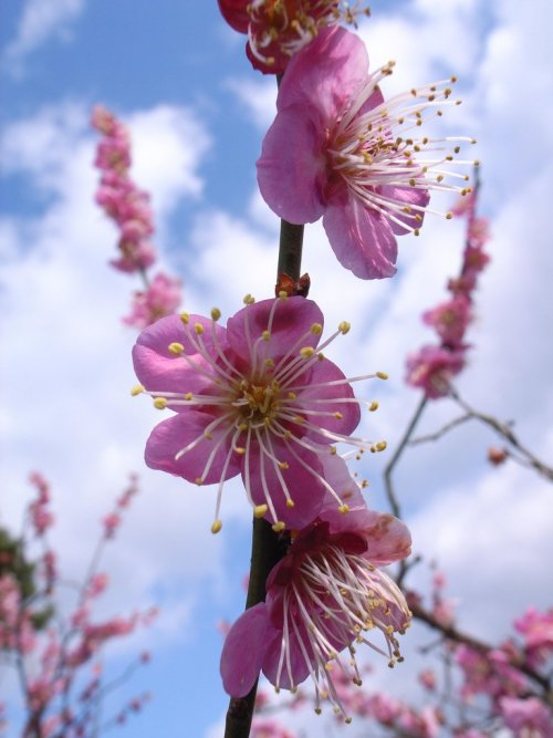 Japanese_Plum_Blossoms_Photo