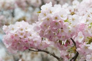 Mount_Yoshino_Cherry_Blossom_Japan