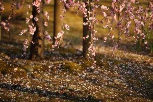 Plum_Blossoms_at_Koishikawa_Korakuen_Tokyo
