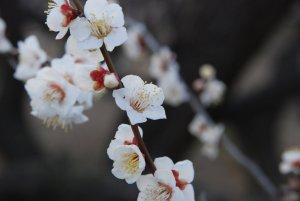 White_Plum_Blossom_Osaka_Japan