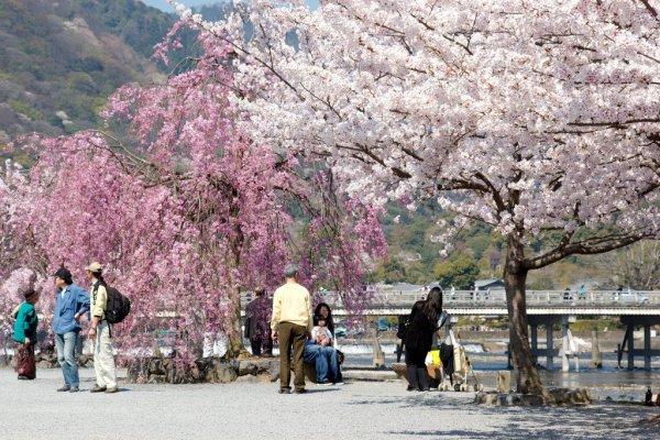 beautiful_cherry_blossoms_in_arashiyama