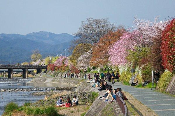 kamogawa_river_cherry_blossom_in_kyoto