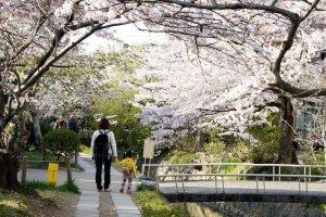 sakura_in_philosopher_path_tetsugaku_no_michi_kyoto