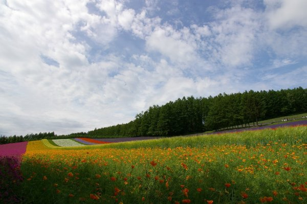 flower_field_in_furano
