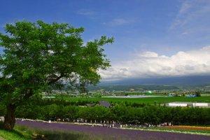 farm_tomita_lavender_furano_hokkaido
