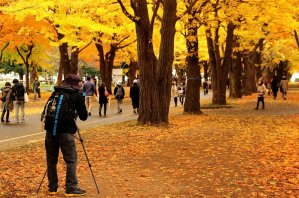 ginkgo_trees_leaves_in_autumn_at_hokkaido_university_sapporo