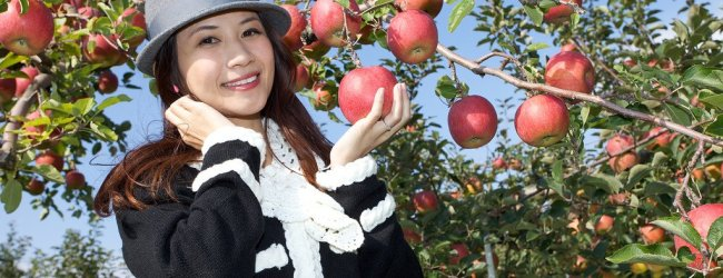 Apple Picking Season in Aomori
