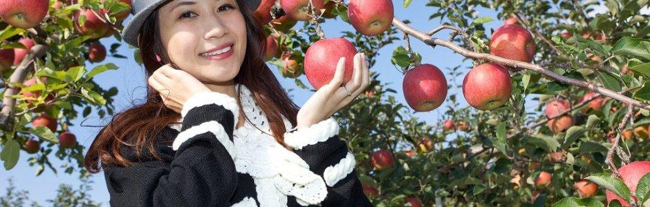 Apple Picking Season in Aomori