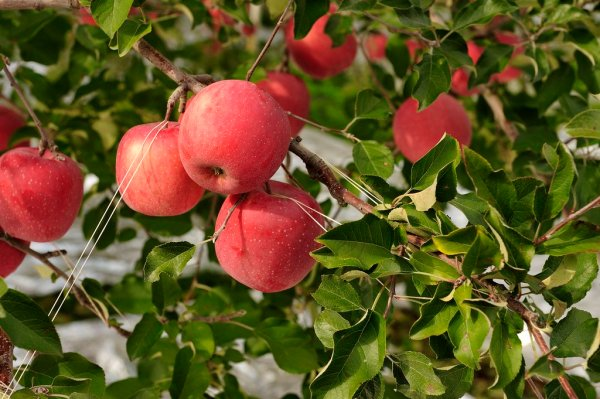apples_at_hirosaki_apple_park_aomori