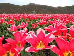 beautiful_tulips_kamiyubetsu_tulip_park