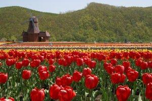 kamiyubetsu_tulip_fair_in_spring