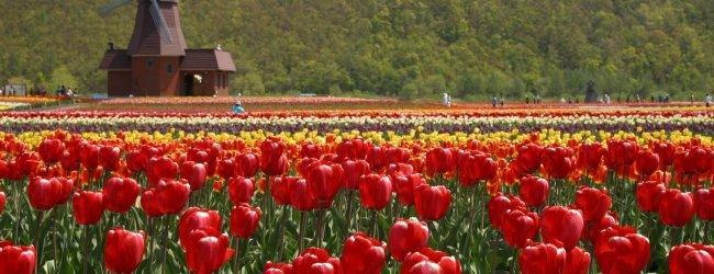 Kamiyubetsu Tulip Park | Tulip Fair 2017