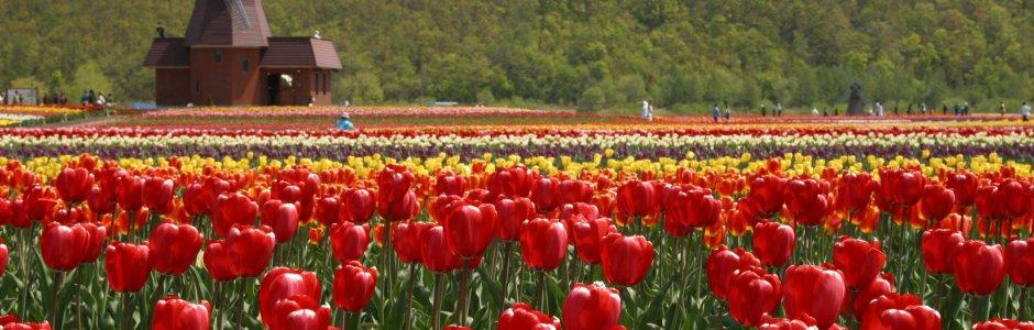Kamiyubetsu Tulip Park   Tulip Fair 2017