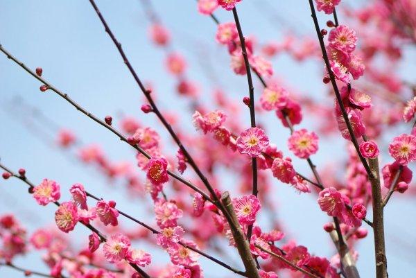pink_plum_blossoms_atami_baien